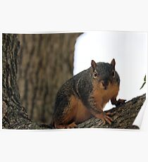 Squire squirrel Poster