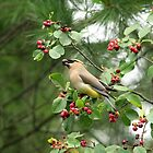 Cedar Waxwing Berry Picking by Debbie Oppermann