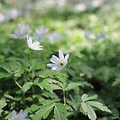 White flowers anemone Spring primroses by mrivserg