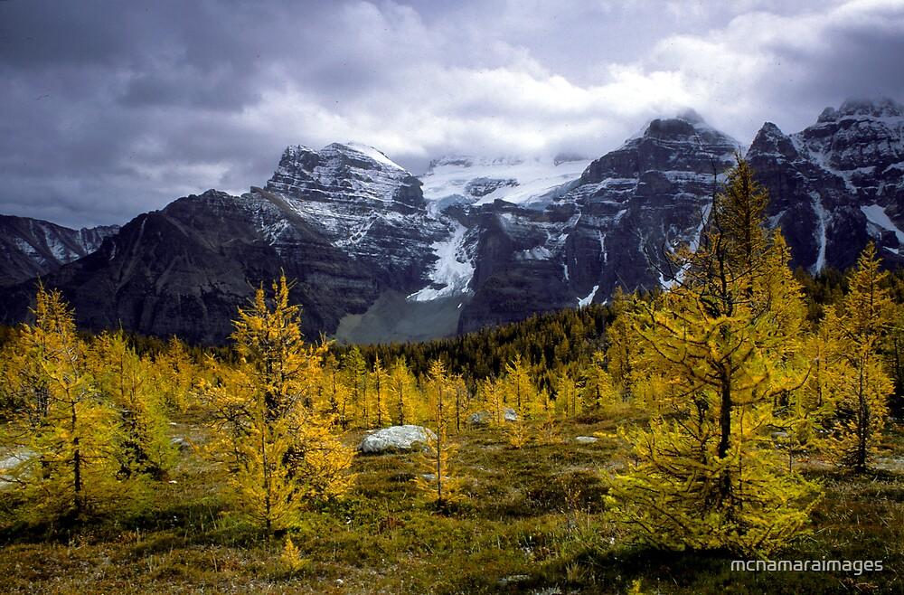 Autumn pines on Logan Pass by mcnamaraimages