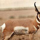 Pronghorn Antelope by Ryan Houston