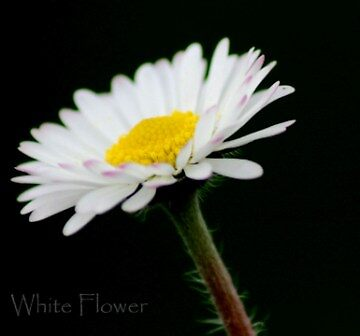 White Flower by soulman213
