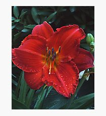 Tigerlily After Rain Photographic Print