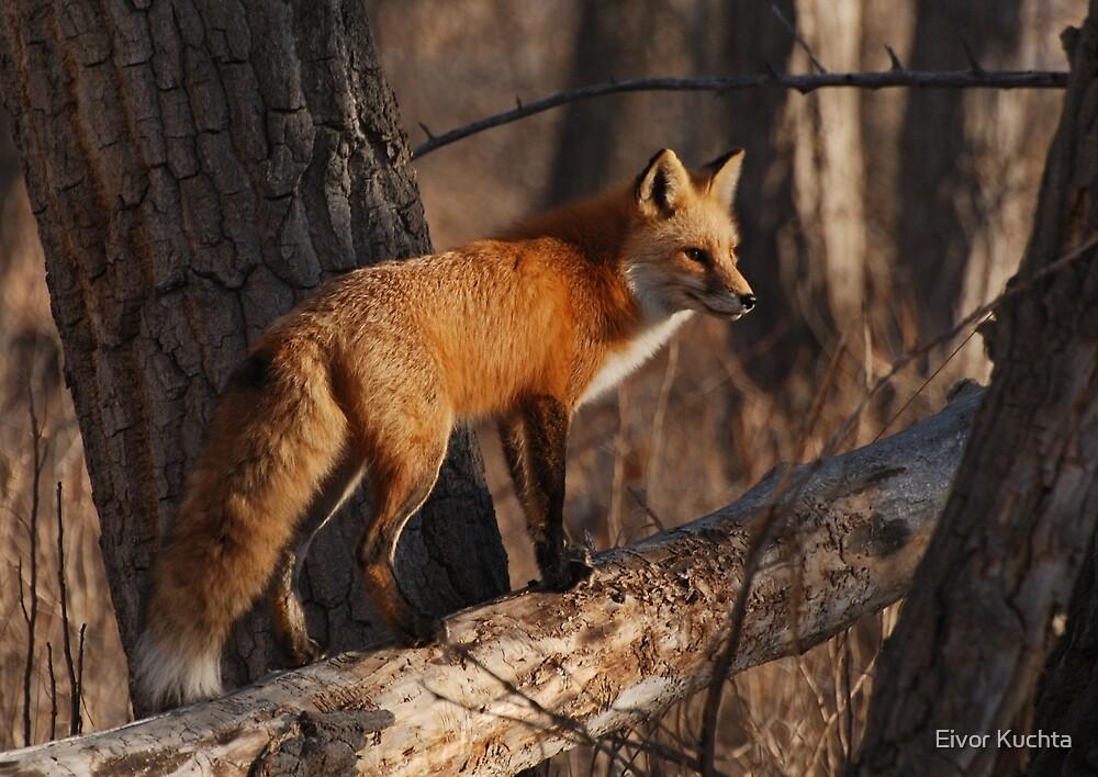 Fox hunt by Eivor Kuchta