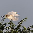 Great Egret 2017-6 by Thomas Young