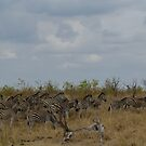 Stripes - A Zeal of Zebra (Equus quagga) by Deborah V Townsend
