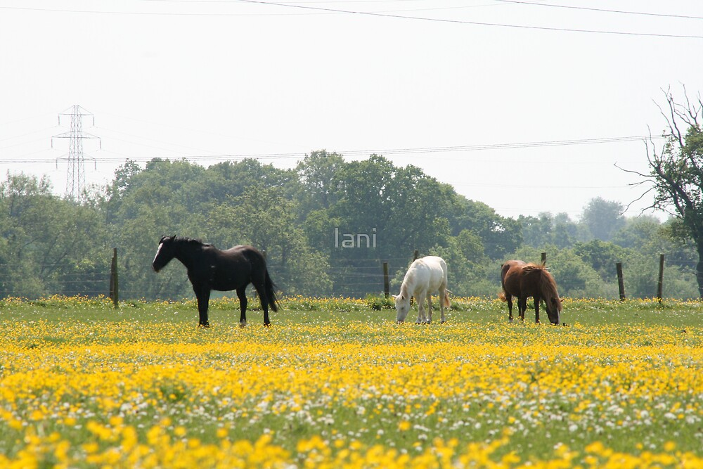 Buttercups and Horses by Iani