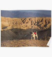Desert Pug  Poster