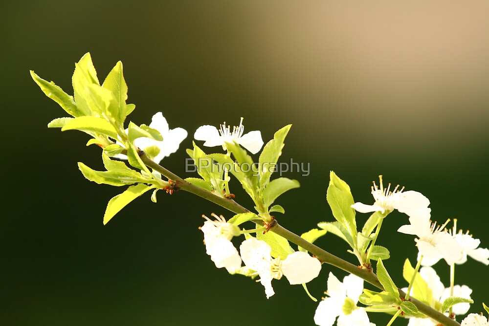 Blossom. Contrast by BPhotography