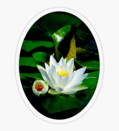 White Water Lily and Bud on Lily Pad Transparent Sticker