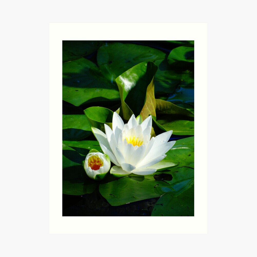 White Water Lily and Bud on Lily Pad Art Print