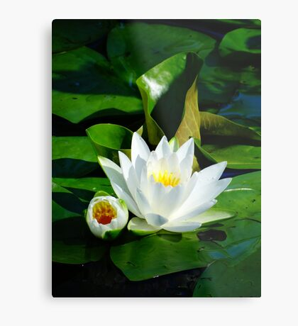 White Water Lily and Bud on Lily Pad Metal Print