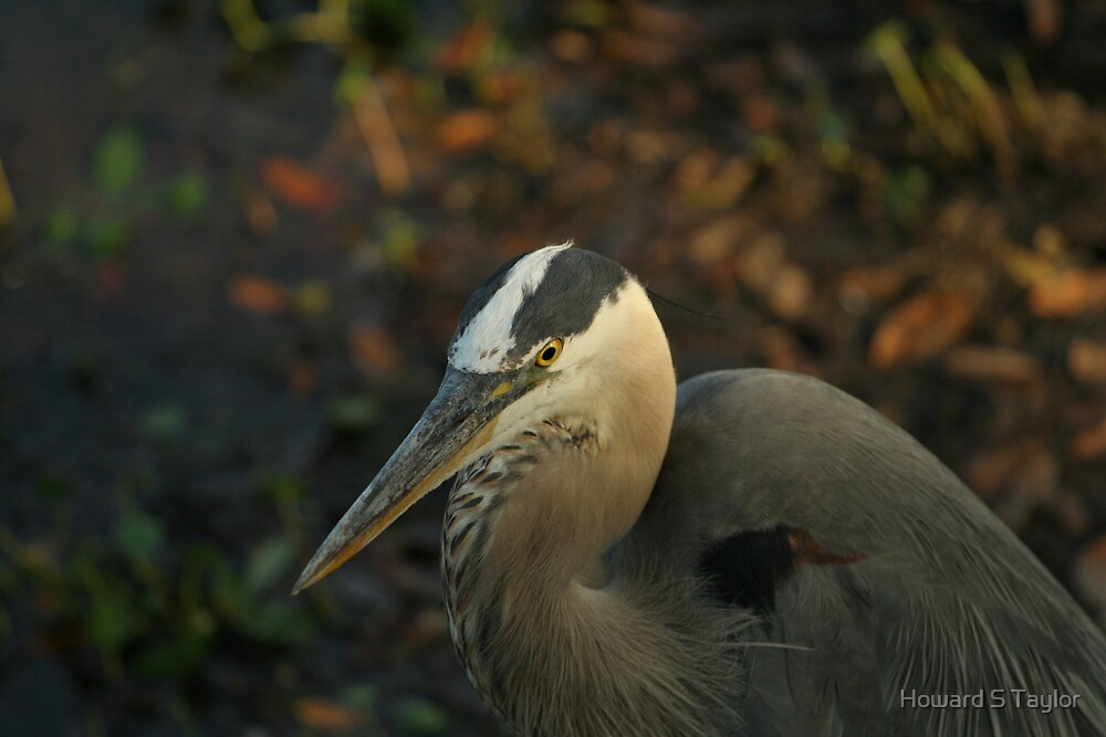 GREAT BLUE HERON PORTRAIT by Howard S Taylor