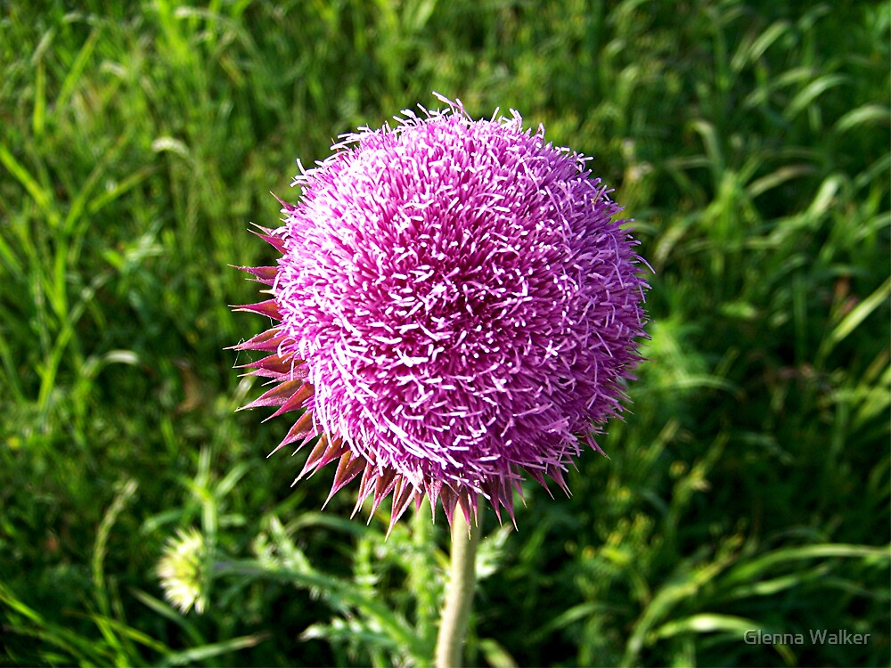 Texas Thistle by Glenna Walker