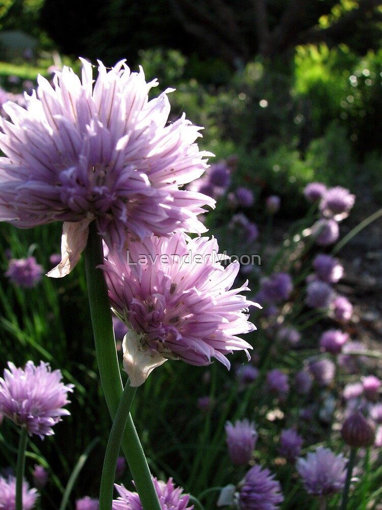 Chive Flowers by LavenderMoon