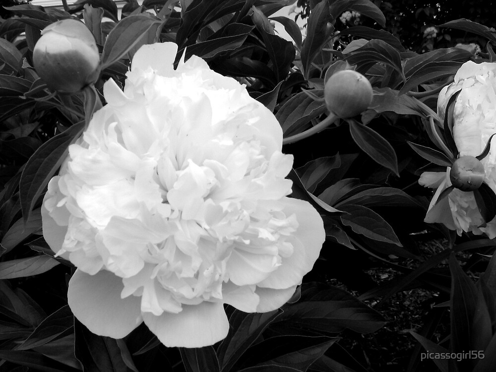 Peony by picassogirl56