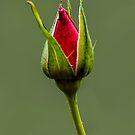 Red Rose by Deborah V Townsend