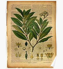 Botanical print, on old book page Poster
