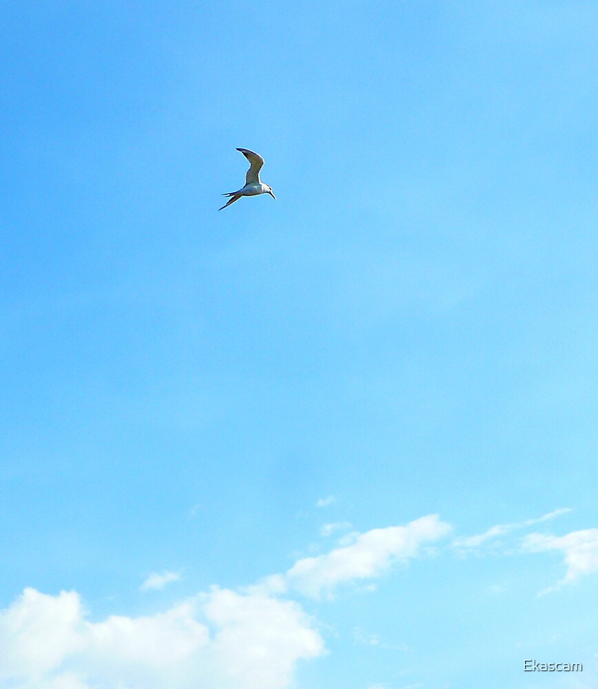 A LONE TERN OVER THE INLET by Ekascam