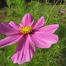 Mexican aster by orko