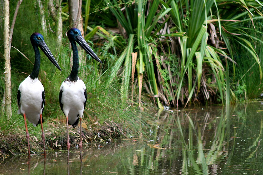 Black-necked Storks by Dave Law