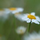 Daisy Dream by Amy Collinson