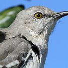 Mocking bird up close and personal by Anthony Goldman