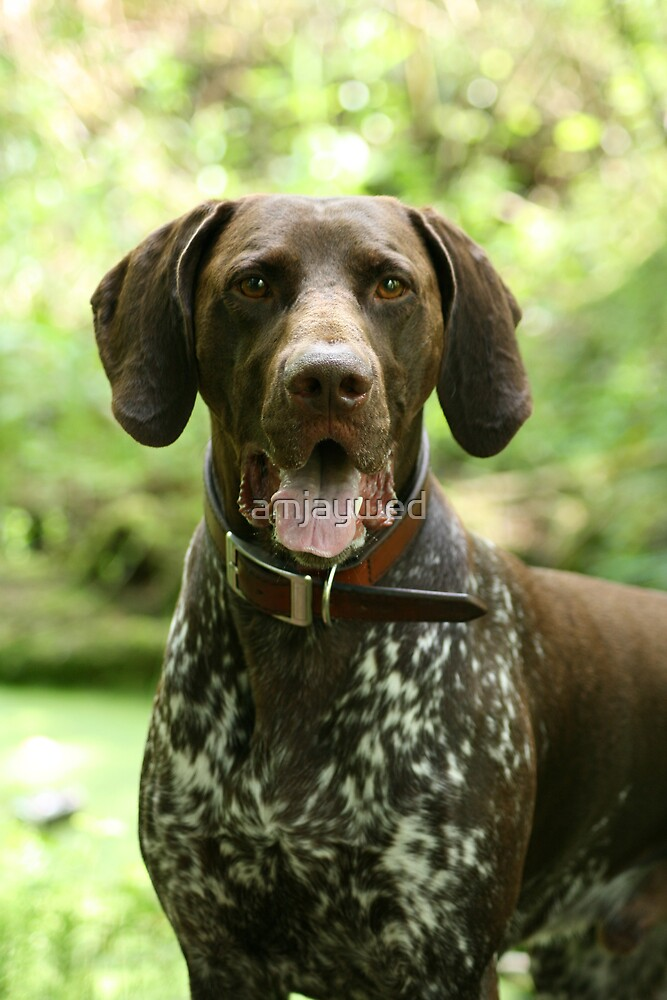 Max - Short-haired German pointer #2 by amjaywed