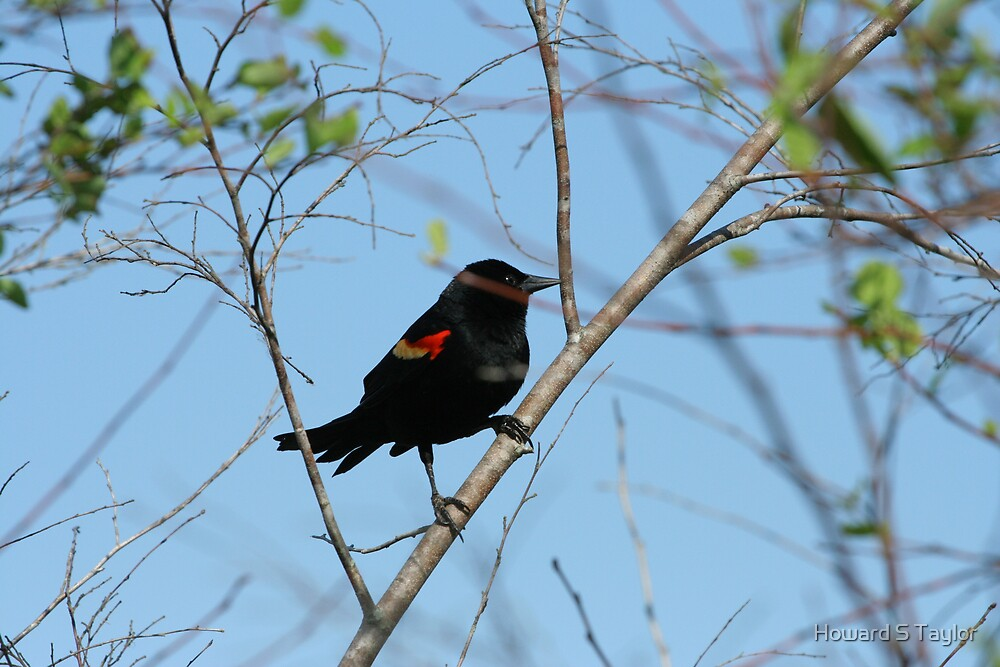 RED-WINGED BLACKBIRD by Howard S Taylor