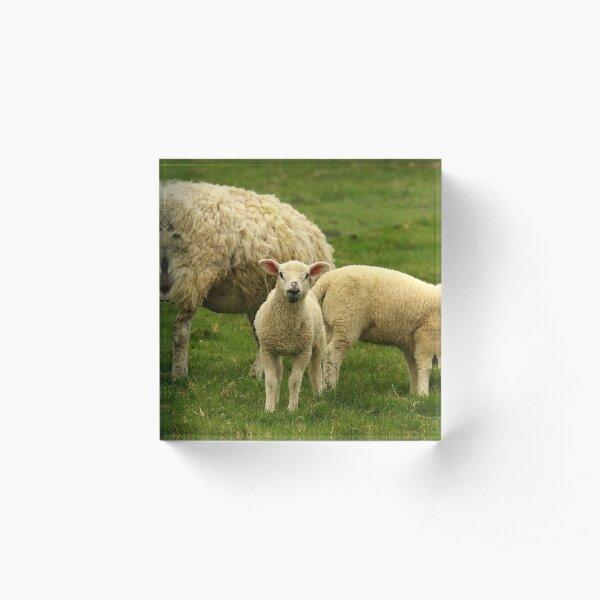 Curious Lamb Acrylic Block
