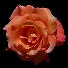 Sunrise Rose on Black Background by SunriseRose