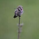 Anna's Hummingbird No. 3 by PrairieRose