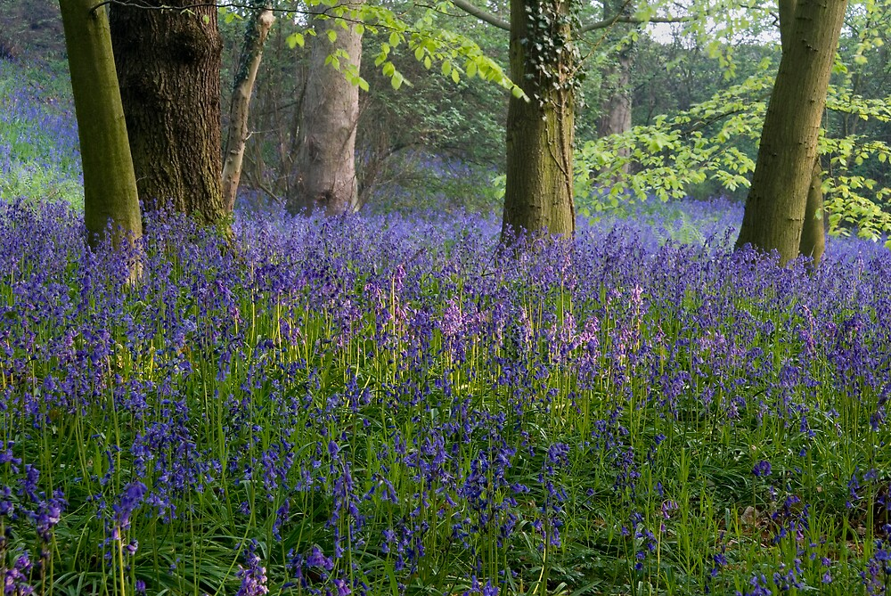 Blue Bell Wood by Ron Hindhaugh