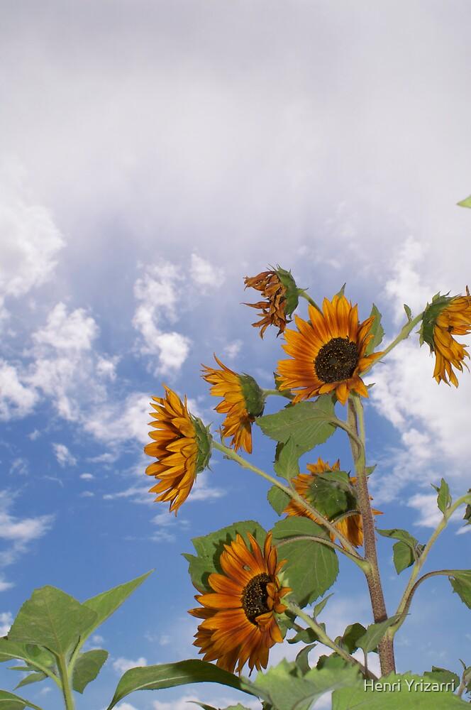 Desert Sunflower by Henri Irizarri