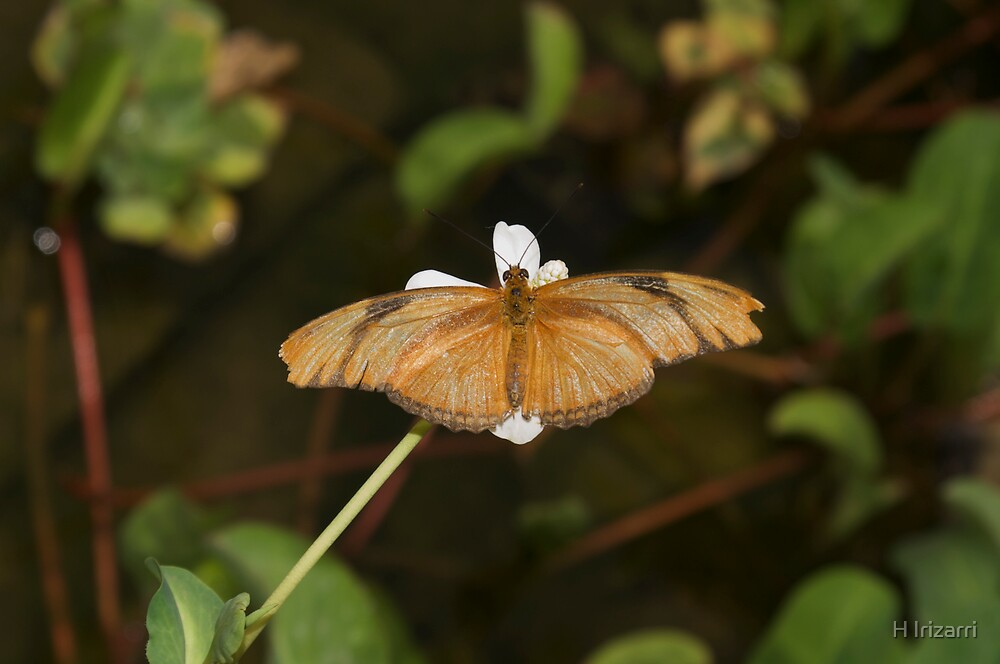 Julia Butterfly by Henri Irizarri