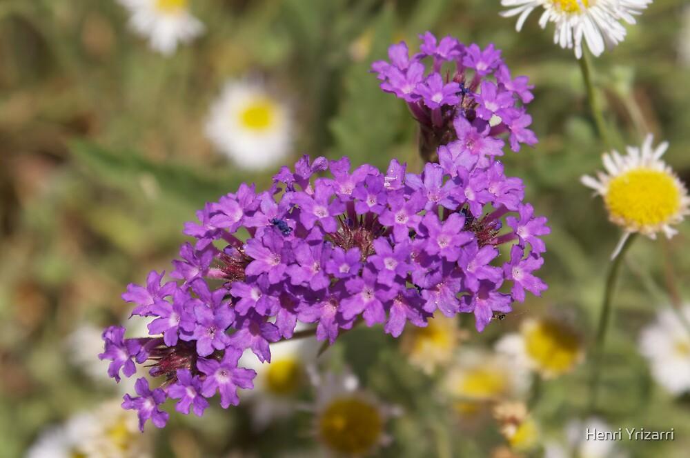 Purple Desert Flowers II by Henri Irizarri