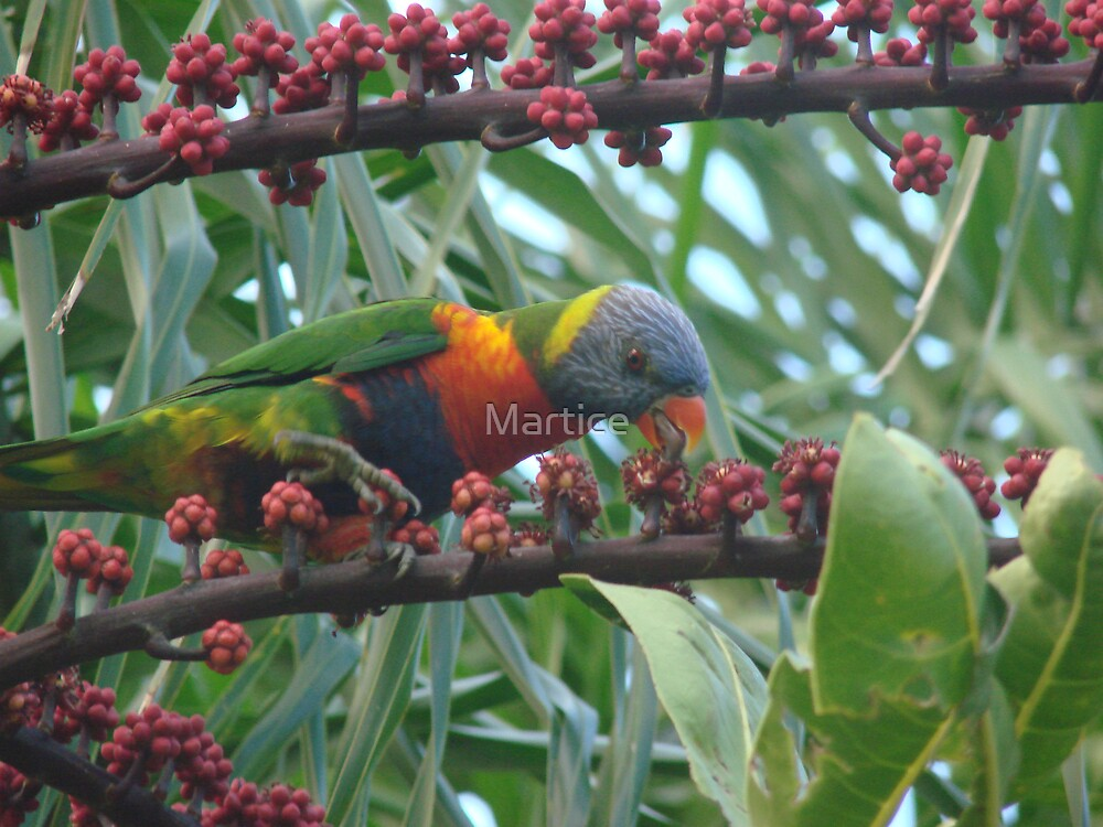 Rainbow Lorrikeet Feasting on the Umbrella  Trees Deliscious Red Fruit by Martice