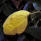 Autumn leaf on green leaves Leith Park Victoria 20170511 0400  by Fred Mitchell