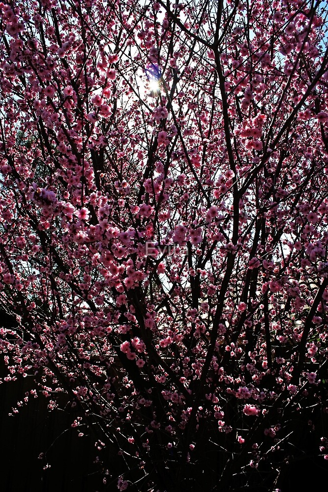 Cherry Blossoms by Evita