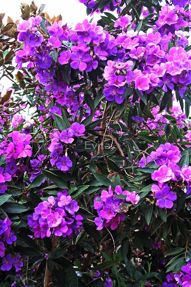 Flowering Tibouchina Tree by Evita