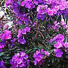 Flowering Tibouchina Tree by Evita
