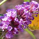 Butterfly & Lilac by sunnykcdb