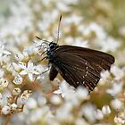 Beautiful Brown Butterfly by macrodesign