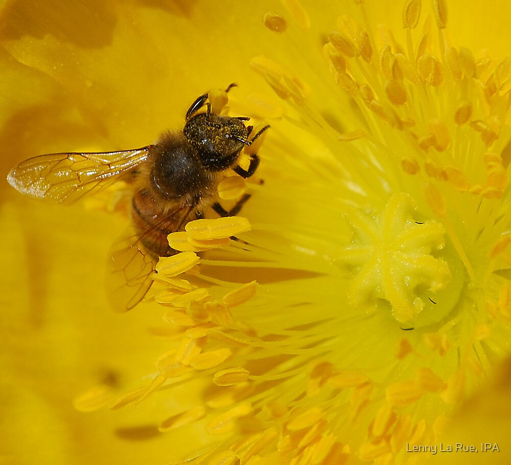 bee in the yellow bloom by Lenny La Rue, IPA