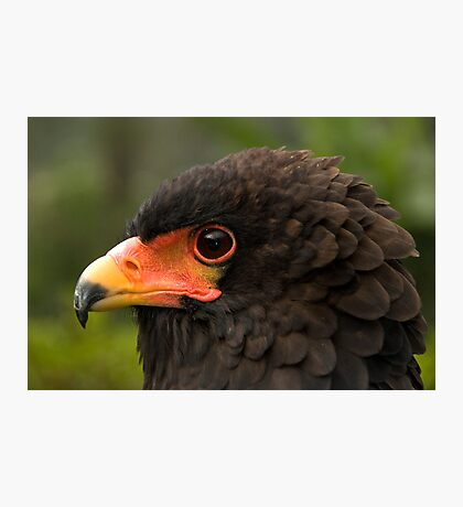 Bateleur Eagle Photographic Print