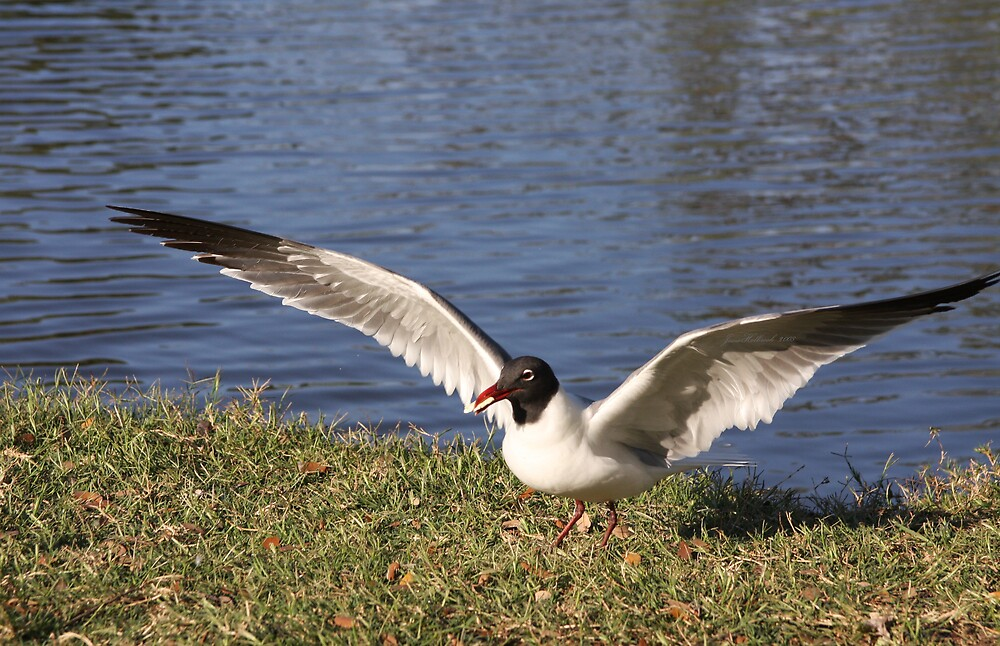 Laughing Gull by June Holbrook