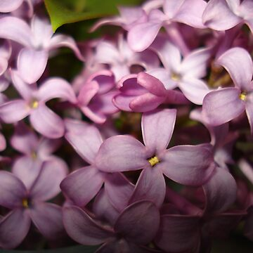 Lilac Flowers by sarah90