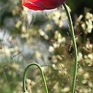 Poppy 2 by Avalinart