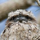 The Sulky Frogmouth Face by byronbackyard