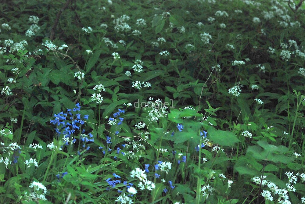 wild garlic, and blue bells by dougie1